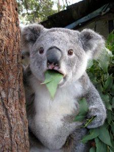 Shocked Koala